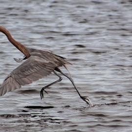 Dancing by Jay Dooley - Animals Birds
