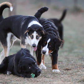 Curious by Peter Marzano - Animals - Dogs Playing