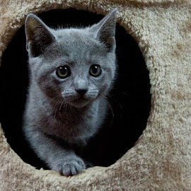 Russian Blue Kitten by Aleksander Cierpisz - Animals - Cats Kittens