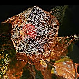 Autumnal Song by Marija Jilek - Nature Up Close Other plants ( song, lace, nature, autumn, lanern, leaves, physalisalkekengi )