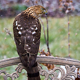 Young Coopers Hawk by Sue Matsunaga - Novices Only Wildlife