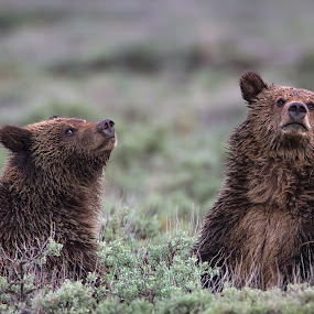 Curious Grizzly Cubs by Martin Belan - Animals Other Mammals ( bear, grizzly, babies, yellowstone, nature, national parks, wildlife, cubs,  )
