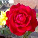 Red Rose ( लाल गुलाब )