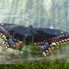 Black swallow tail
