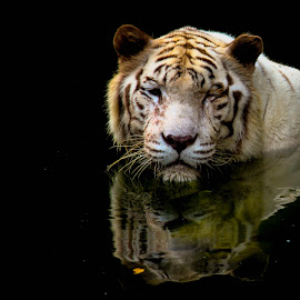 White Tiger, Dark Water by Deon Visser - Animals Lions, Tigers & Big Cats