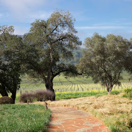 Springtime Napa Grape Vines and Mustard by Janet Marsh - Landscapes Prairies, Meadows & Fields ( mustard, oak trees, napa )