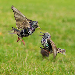 by James Blyth Currie - Animals Birds ( bird, london, hyde park, starlings, fighting )