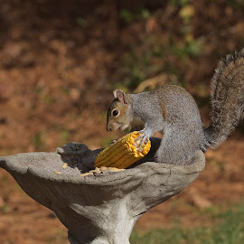 Corn On The Cob, Oh Boy!! by Roy Walter - Animals Other Mammals ( other mammals, animals, wildlife, squirrel )