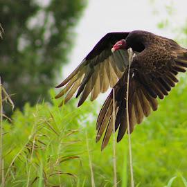 Turkey Vulture by Jay Dooley - Animals Birds