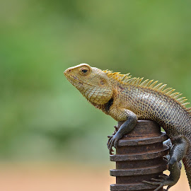 Oriental Garden Lizard by Thejas Cr - Animals Reptiles