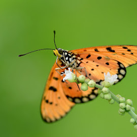 bokeh by Terence Kok - Animals Insects & Spiders ( butterfly, macro, nature, beauty, bokeh )