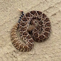 Diamond backed rattle snake