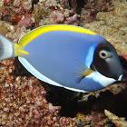 Powder Blue Surgeonfish/Powder Blue Tang