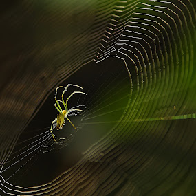 Network Admin by Dheeraj Tripathi - Animals Insects & Spiders ( macro, nature, network admin, spider, insects, light, spider web, web, spiderweb )