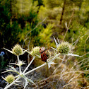 [Graphosoma lineatum]