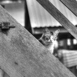 the curious expression  by Engye They - Animals - Cats Kittens ( blackandwhite, streetphotography, cat, kitten, b&w, animal )