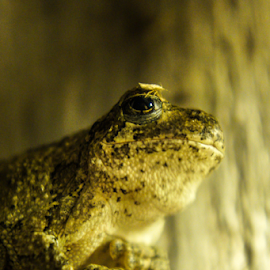 Monday by Brian Box - Animals Amphibians ( arkansas photographer, frog, tree frog, frogs, night shot )