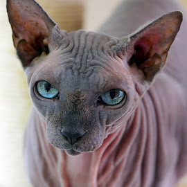 Baldy by Jeff Fox - Animals - Cats Portraits ( kitten, cat, blue eyes, kitty, wrinkled )