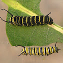 Monarch, larvae