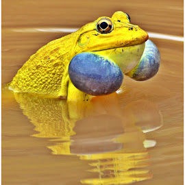 'BLOWING YOUR OWN TRUMPET' by Rahul Rallan - Animals Amphibians ( reflection, blue and yellow, frog, amphibian, india, pond )
