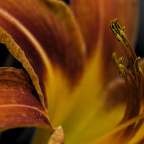 Day Lilly 0714C by Benjamin Howen III - Flowers Single Flower ( macro, nature, daylilly, petals, bloom, flower )