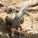 Algerian Sand Lizard; Large Psammodromus