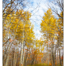 by Kimberley Merrifield - Landscapes Prairies, Meadows & Fields ( water, birch, paths, autumn, fall, trees, yellow, landscapes, poplars, color, colorful, nature )