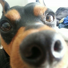 My doggie.....my what a big nose u have. Lol by Dawn Donahue - Animals Other