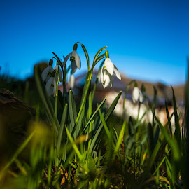 Spring is coming by Constantin Abalaei - Nature Up Close Other plants ( up close, blue sky, green, snowdrops, spring )