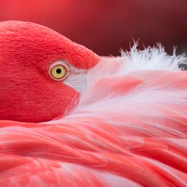 Almost asleep by Richard . - Animals Birds ( bird, fotography, orange, nature, beautyful )