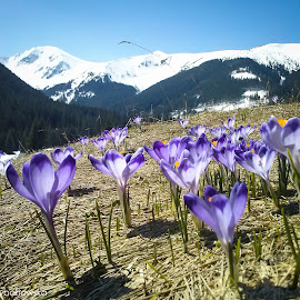 Spring is coming by Justyna Rybałtowska - Landscapes Mountains & Hills ( tatra mountains, crocus, tatry, valley, polish )