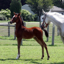 Razcals Glory  ,this filly really likes herself, can you tell ? by Kathy Polcsan - Animals Horses