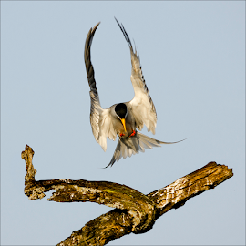 River Tern by Skanda Sn - Animals Birds ( bird, wing spread, tern, river tern, water birds, birds, bird in flight )