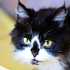 Persian by Mude Angkasa - Animals - Cats Portraits