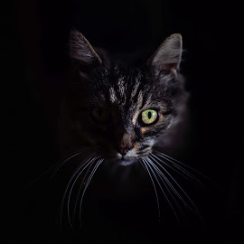 Into the Darkness by Corinne Cavallo - Animals - Cats Portraits ( natural light, cat, pet photography, portrait, shadows, pet portrait, pet, dark, artistic, feline, darkness, light, kitty )