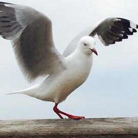 Australian Seagull .  Taken at Torquay, Victoria, Australia by Mic Larkins - Instagram & Mobile Instagram ( seagull, Torquay, australia )