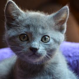 Chaton chartreux by Serge Ostrogradsky - Animals - Cats Kittens ( karthäuser, chaton chartreux certosino karthäser )
