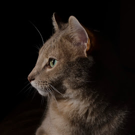Boots by Ethan Scholl - Animals - Cats Portraits ( looking, kitten, cat, light, portrait )