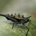 Spiky Grouse Locust