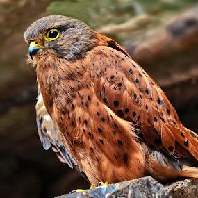 Bird of Prey by Glenn Visser - Animals Birds ( bird of prey )
