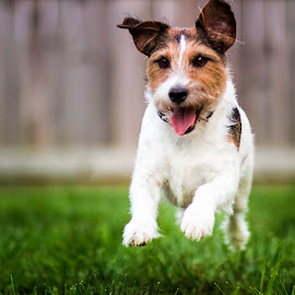 CHARGE! by Shawn Klawitter - Animals - Dogs Running ( playing, jack russell, pets, dog, running )