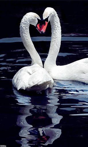 Live Wallpaper Two Swans