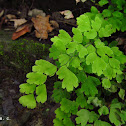 Maidenhair fern/Cilantrillo de pozo