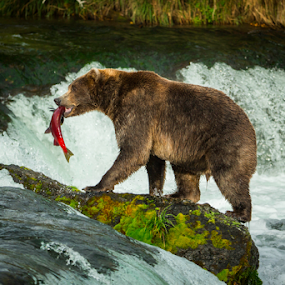 King of the Rock by Jerry Alt - Animals Other Mammals ( bear, grizzly, fish, falls, alaska, salmon, katmai, brown )