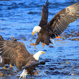 Ready to pounce by Kaushik Barat - Animals Birds ( mosquito lake, washington, skagit, fight, skagit valley, eagles, bald eagles )