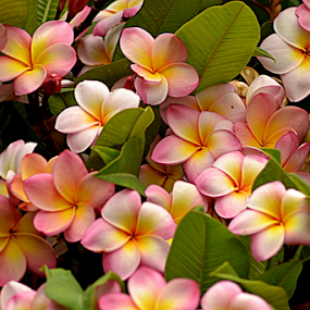 Pink Frangipani 87 by Mark Zouroudis - Flowers Flowers in the Wild (  )