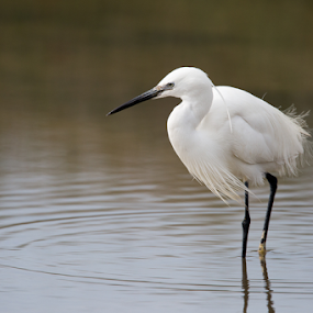 Elegance by Marsilio Casale - Animals Birds ( bird, elegance, white, egret, animal )