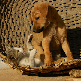 Dog on a Kitten by Manoj Kumar B B - Animals - Cats Playing ( dog and kitten, kitten, cat, dog playing, cat and dog playing, dog, dog and cat, cat playing )