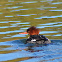 Common Merganser (North American)