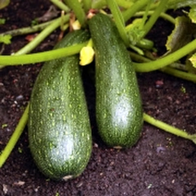 Courgettestamppot